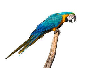 Blue-and-yellow macaw profile isolated on white