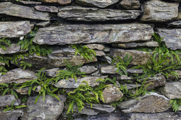 Dry stone wall with young ferns growing amongst the stones