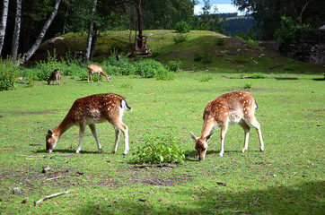 feeding two fallow deer females on the grass photography