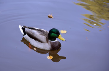 one duck male on small lake reflecting in water