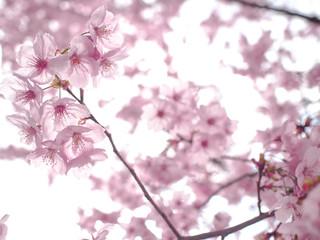 アートな桜