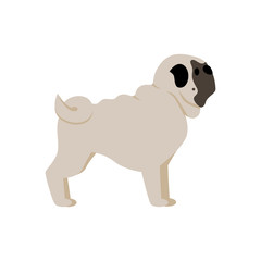Isolated pug dog on white background. Funny adorable domestic animal.