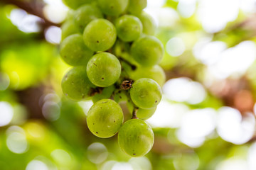 Green Grapes Hanging