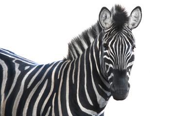 Printed kitchen splashbacks Zebra portrait zebra