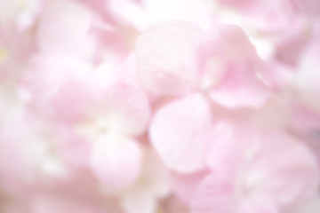Pink hydrangeas, Abstract blur of hydrangea flowers for background or wallpaper. Soft pastel pink color. dreamy effect