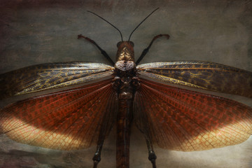 Locust, wings open, overhead view, close-up