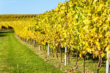 Autum Vineyard in Rhine-Hesse, Rheingau, near Mainz, Rhineland-Palatinate, Germany
