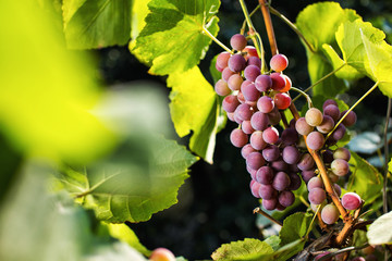 bunch of red fresh sweet grapes hanging on a branch