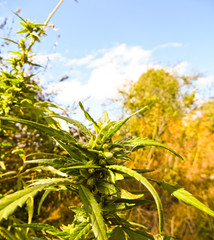 Close-up of the cannabis plant on autumn