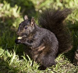 Beautiful background with a black squirrel