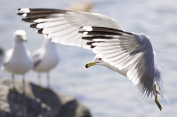 Beautiful photo of a landing gull