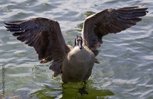 """""""Beautiful Isolated Picture Of A Canada Goose With The"""
