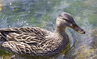 Beautiful isolated image of a funny duck