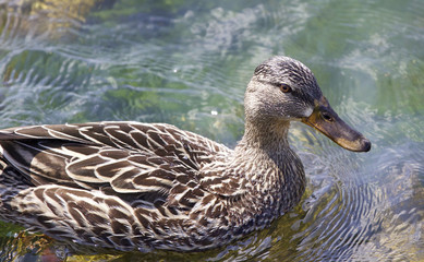 Beautiful photo of a funny duck