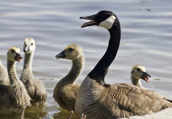 Beautiful isolated photo of a family of the Canada geese