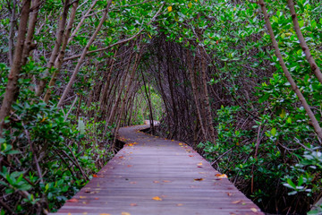 Mangrove forest with wood walkway bridge and leaves of tree.Phetchaburi ,Thailand. Photo taken on: Octuber 29, 2016