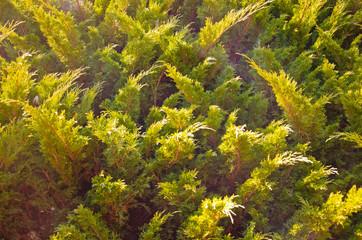 Background of the evergreen juniper bush