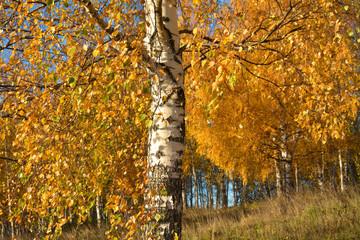 Golden autumn. Sunny day in a birch grove