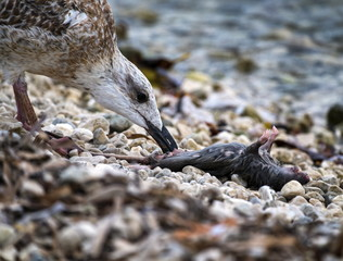 Seagull eating dead rat
