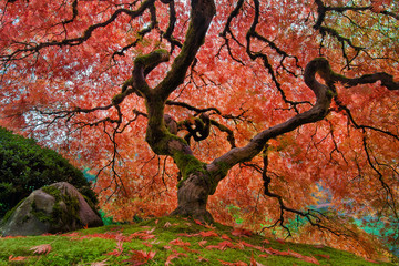 The Old Japanese Maple Tree in Autumn