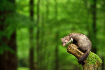 Stone marten on the stump in czech forest Wall mural