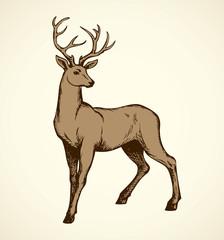 Young deer antlered. Vector drawing