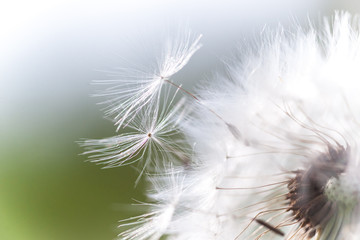 Beautiful white fluffy dandelion closeup  seeds,