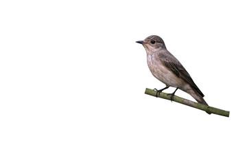 Fotoväggar - Spotted flycatcher, Muscicapa striata