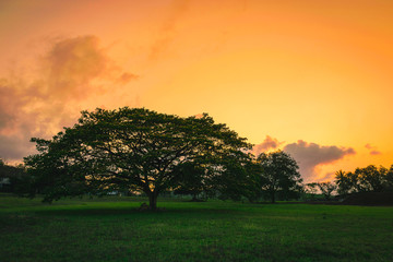 Silhouette Big tree on grass at sunset