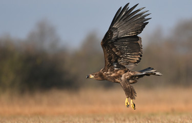 White tailed Eagle (Haliaeetus albicilla)