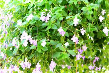 streptocarpus hanging flower