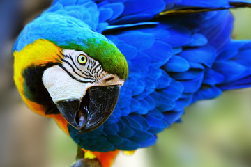 Gold and blue macaw close-up. Ara ararauna