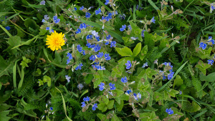Wild forget-me-not flowers with single dandelion.
