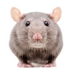 Portrait of a gray rat