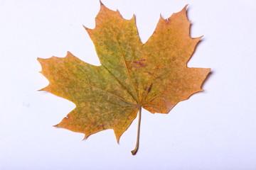 yellow maple leaf on white background
