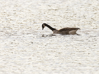 Canada Goose Hunting for Food