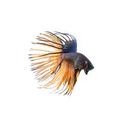 Siamese fighting fish show the beautiful fins tail ,betta fish isolated on white background.
