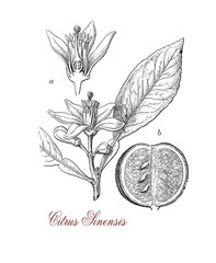 Orange tree (citrus sinensis), botanical vintage engraving