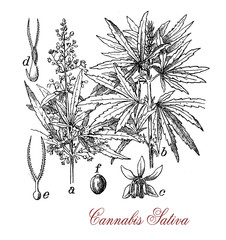 Cannabis sativa, each part of the plant is harvested differently, the seeds for hempseed oil or bird feed, flowers for cannabinoids consumed for recreational and medicinal purpose