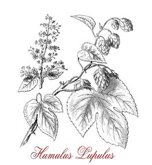 Hop (humulus lupulus), botanical vintage engraving, flowering perennial plant with flower cones widely cultivated for use by the brewing industry
