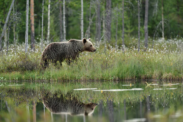 Reflection of a brown bear in a pond