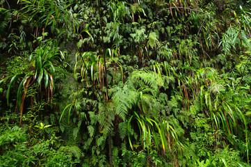 La Réunion - Un coin de jungle : fougères