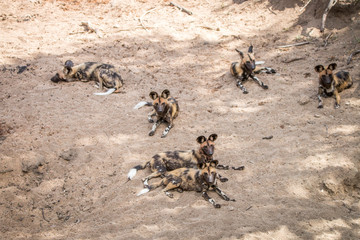 Pack of African wild dogs laying in the sand.