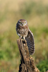 The little owl (Athene noctua) sitting on the stake