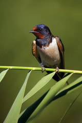 The barn swallow (Hirundo rustica) sitting on a reed