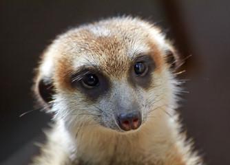 Meerkat Suricate Suricata Suricatta Face Looking