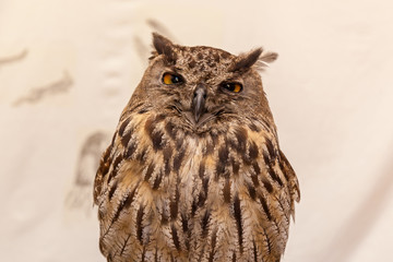 European eagle-owl.