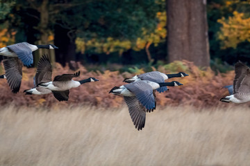 Barnacle Goose. Flock of geese flying through forest on autumn migration.