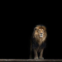 Portrait of a Beautiful lion, in the dark
