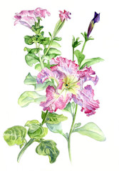 Petunia. Botanical watercolor illustration hand-drawing